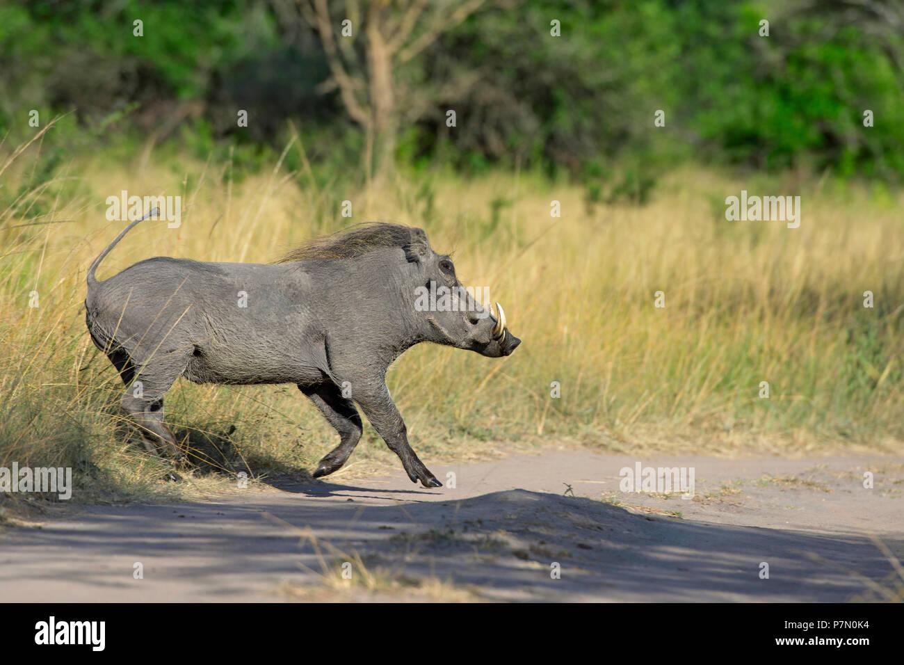 Phacochère, parc national du lac Mburo, Ouganda, Afrique de l'Est Photo Stock