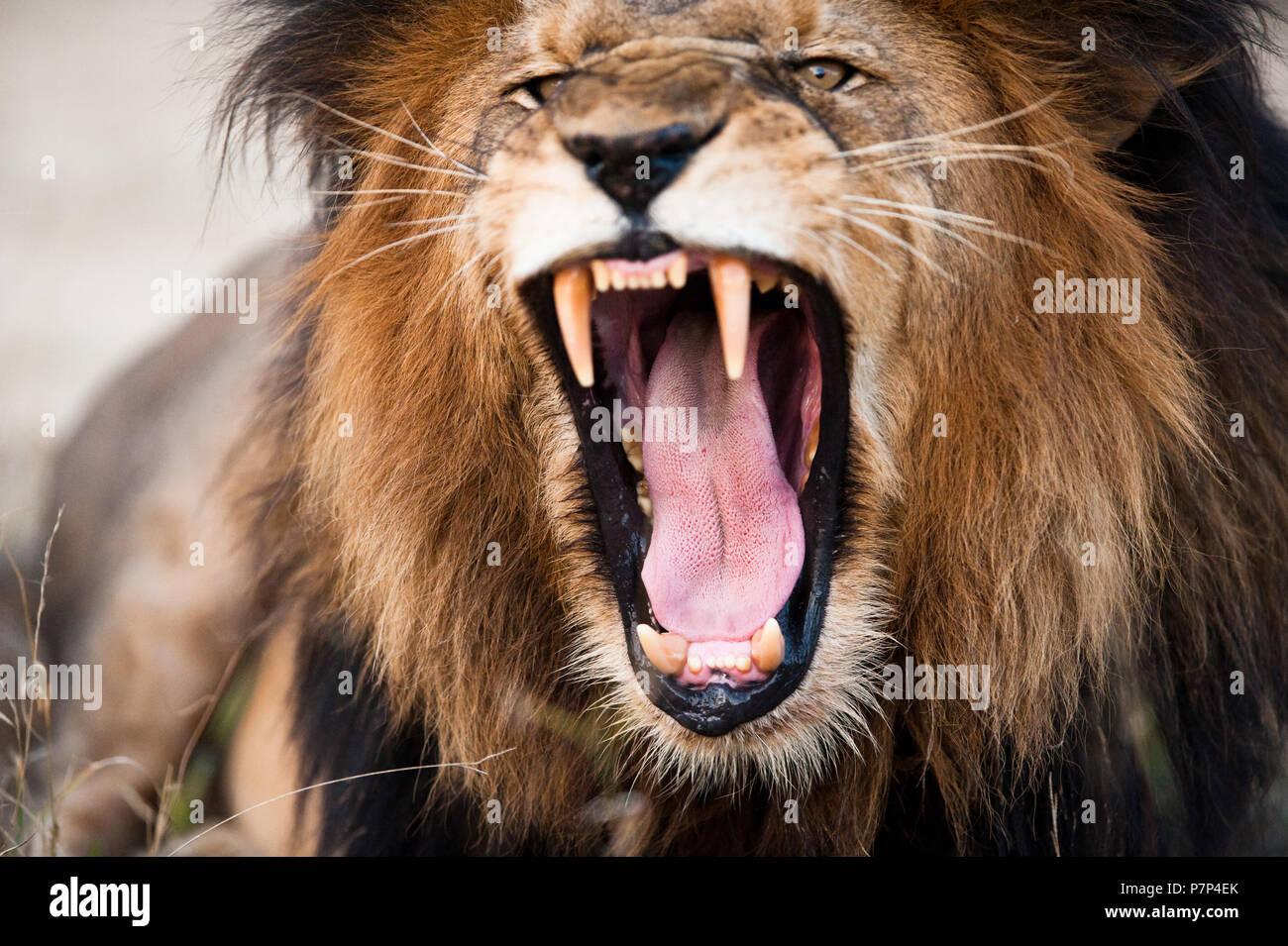 Angry lion rugissant, Kruger National Park, Afrique du Sud Banque D'Images
