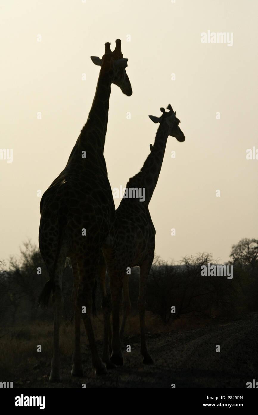Silhouet Girafe Girafe; silhouet Photo Stock