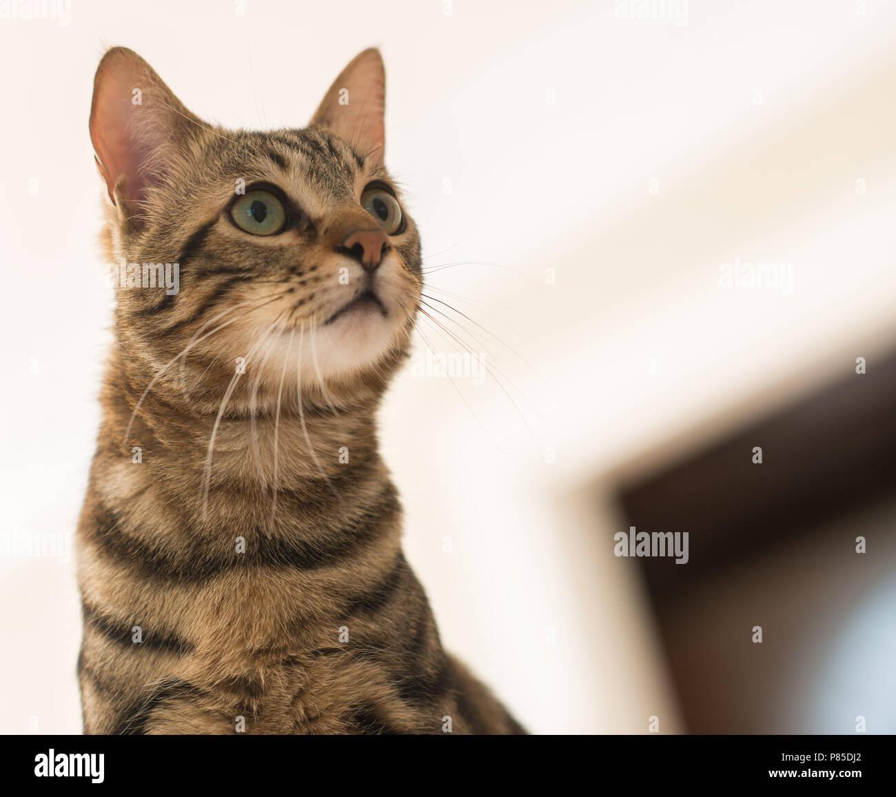 Belle feline chat à la maison. Animal domestique Photo Stock