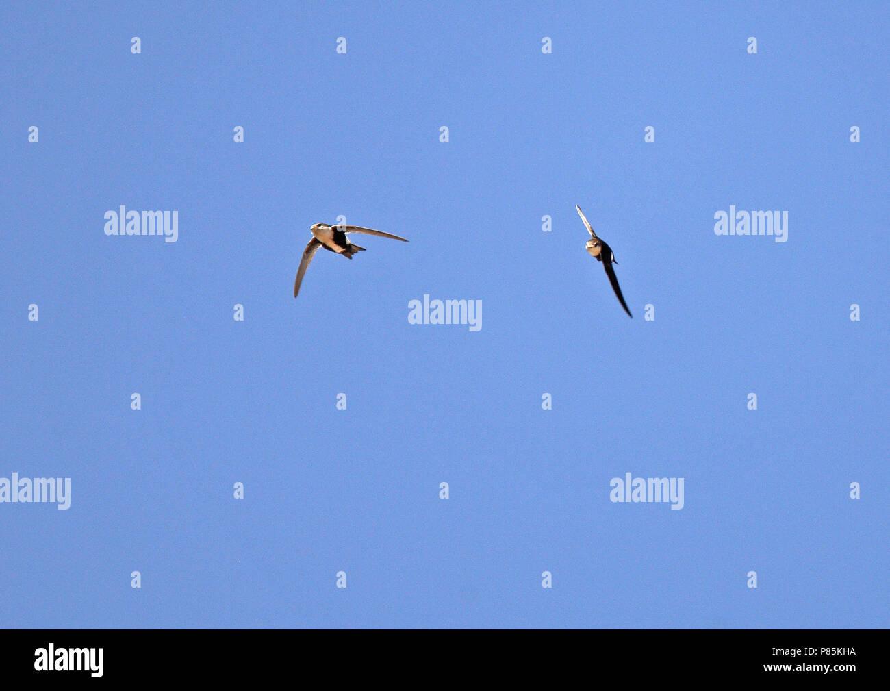 À gorge blanche (Aeronautes saxatalis saxatalis) Comme tous les martinets, ils utilisent leurs pattes courtes seulement pour s'accrocher sur les surfaces verticales ou des fils, un Banque D'Images