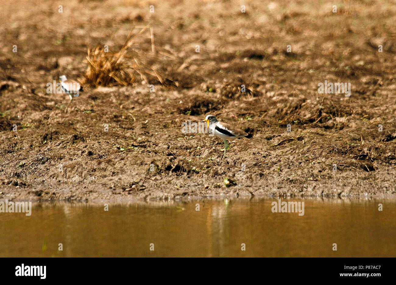 Sénégal Réorganisation de pluvier, Vanellus senegallus. Mana Pools National Park. Zimbabwe Photo Stock