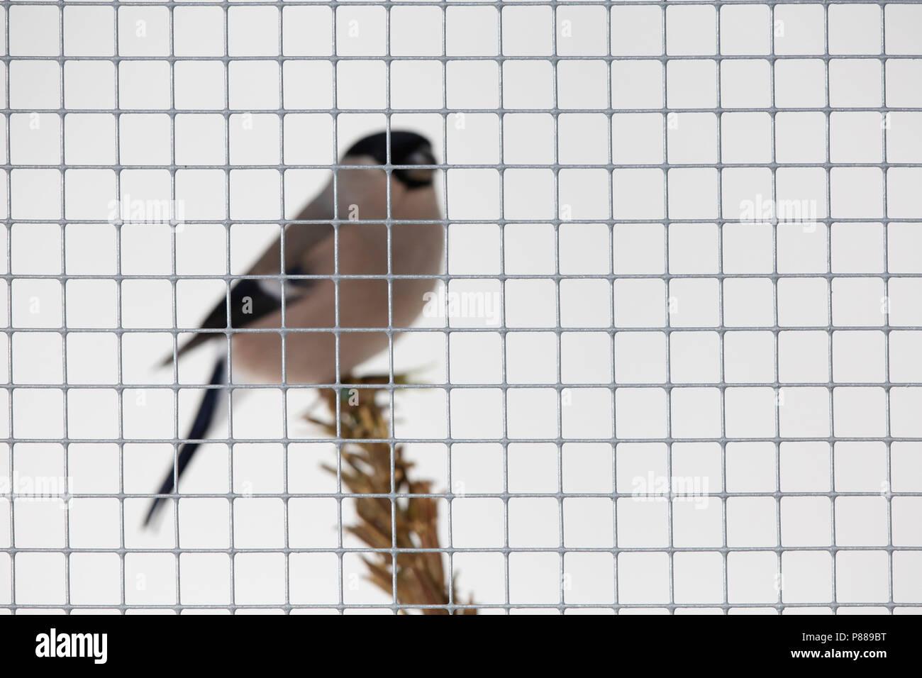En een kooi goudvink Bouvreuil dans une cage; Photo Stock