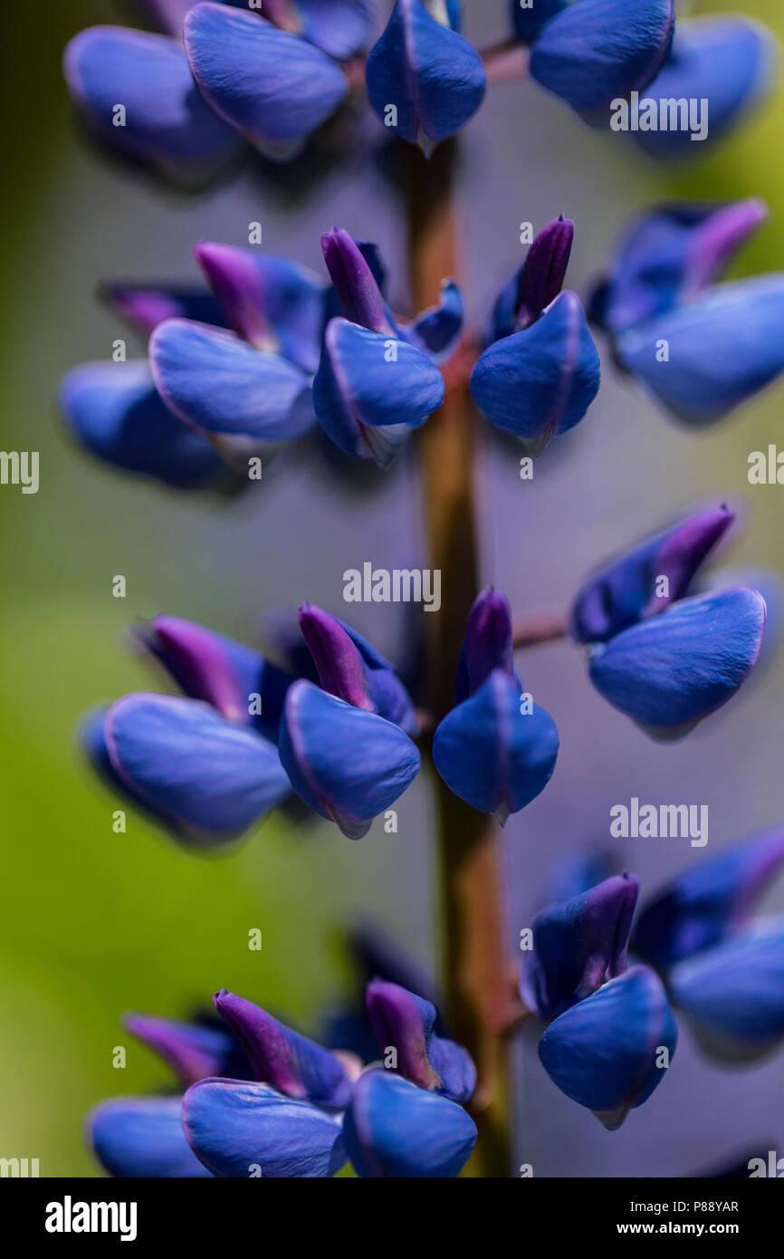 Vaste jardin, lupin Lupin Photo Stock