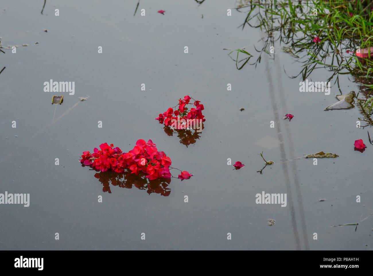 Pétales de fleurs sur l'étang au jardin botanique de printemps. Photo Stock
