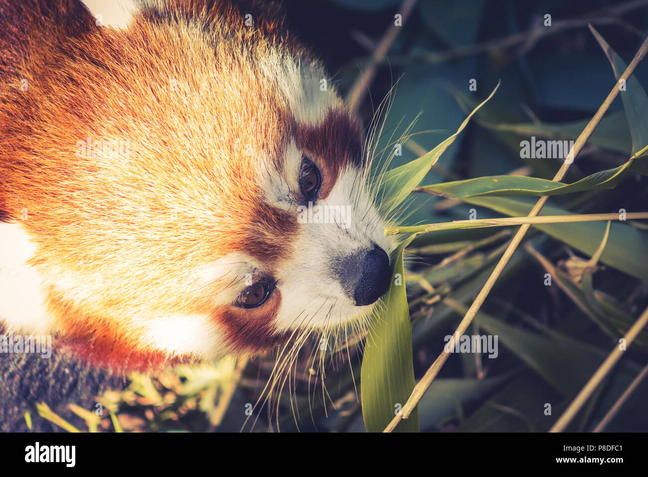 Close up image d'un panda rouge (Ailurus fulgens) with copy space Photo Stock