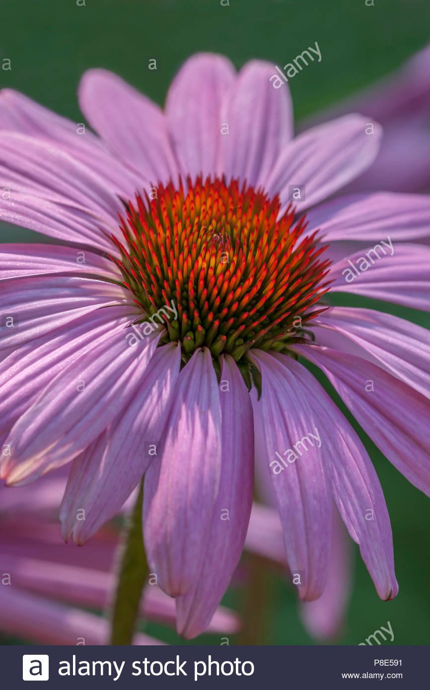 Echinacea 'Prairie Splendor' Photo Stock