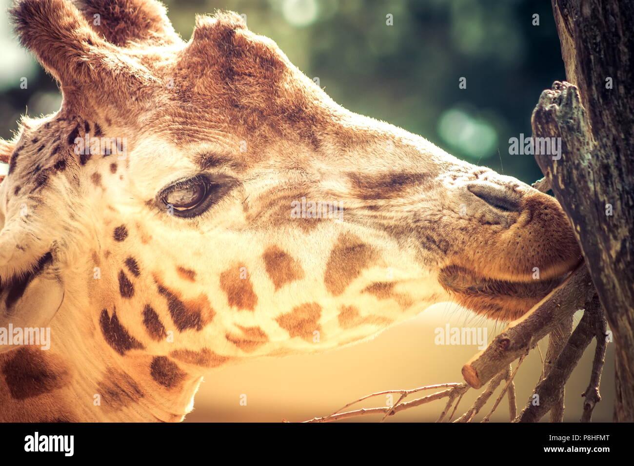 Close up portrait libre d'une girafe portrait head shot. Photo Stock