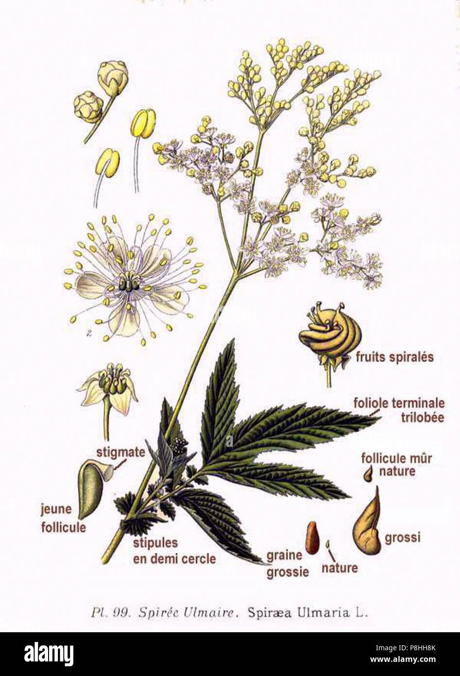 500 graines Meadowsweet salicifolia Spiraea salicifolia
