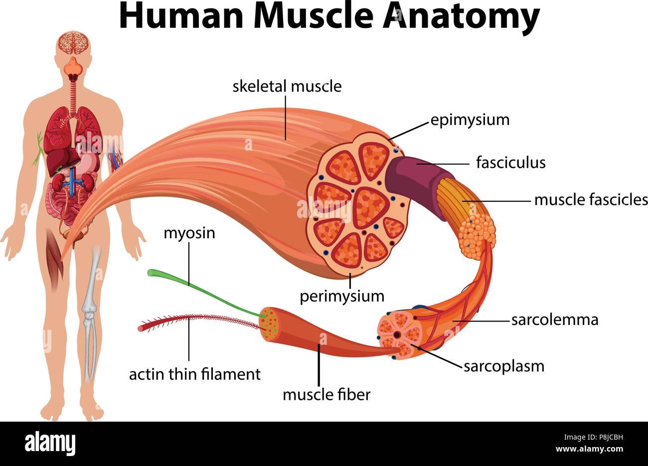 Schéma de l'anatomie musculaire humaine illustration Photo Stock