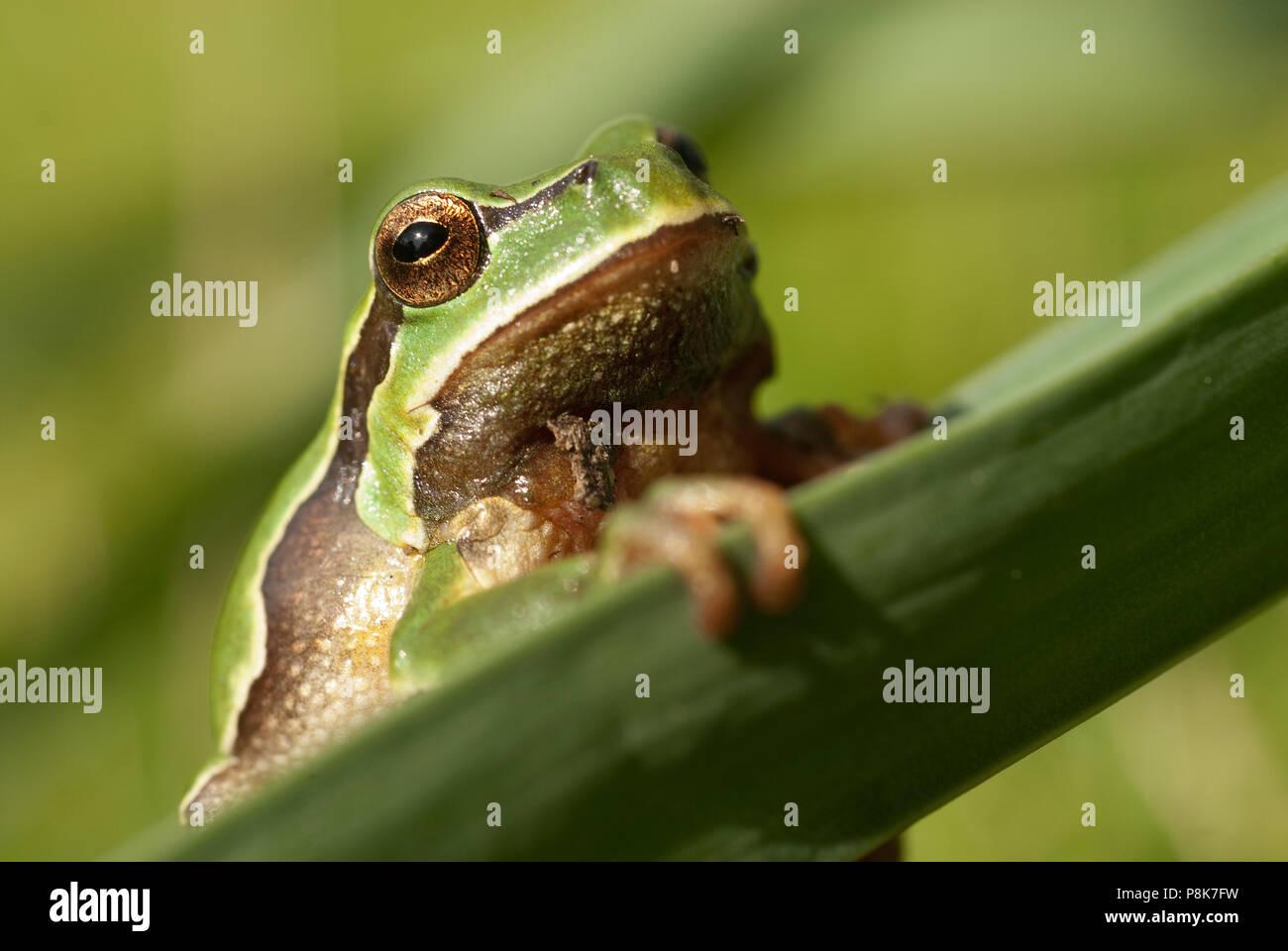 Joli vert des amphibiens rainette européenne, Hyla arborea, assis sur l'herbe, Espagne Photo Stock