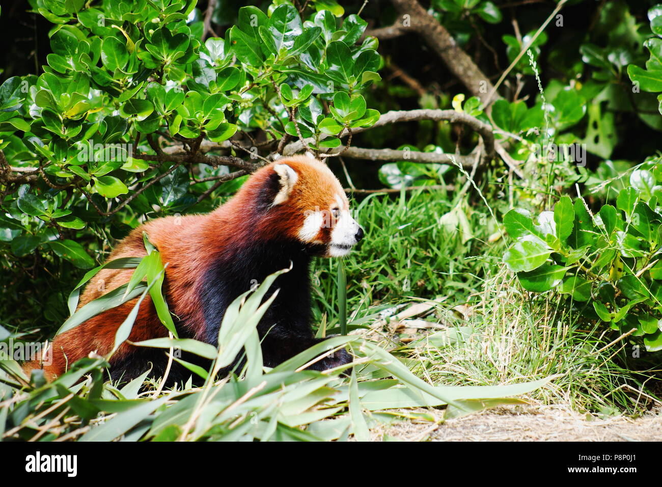 Close up image d'un panda rouge (Ailurus fulgens) with copy space Banque D'Images