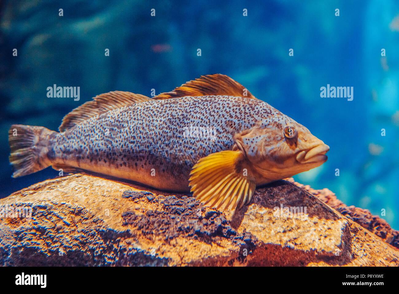 Un gros poisson rouge jaune bleu, l'eau dans le monde sous-marin coloré copyspace, pour le texte, fond papier peint Photo Stock
