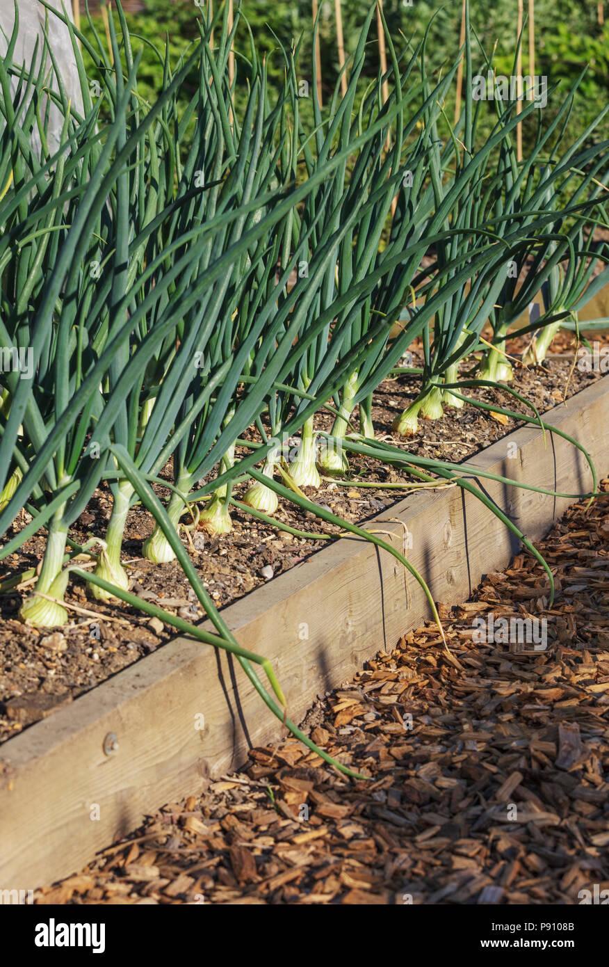 Les oignons dans un jardin arboré chambres Banque D'Images