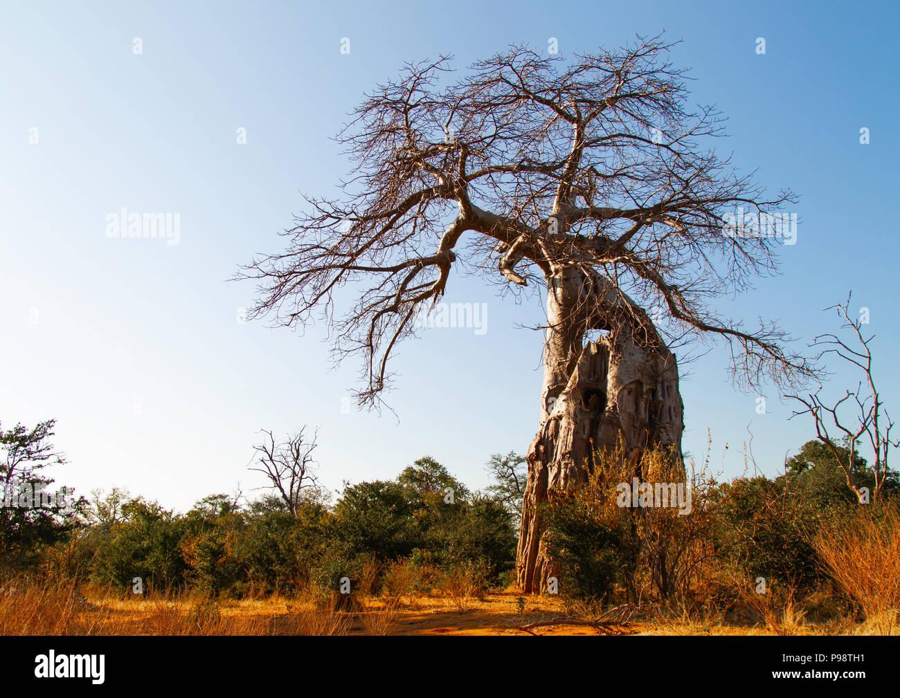 Baobab, Mana Pools, Zimbabwe Photo Stock
