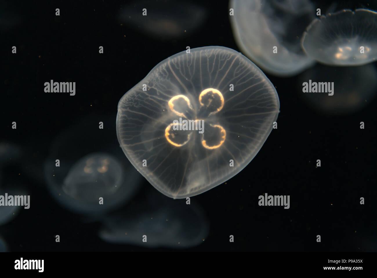 Les méduses Rhizostoma pulmo ou flottant dans l'aquarium Photo Stock