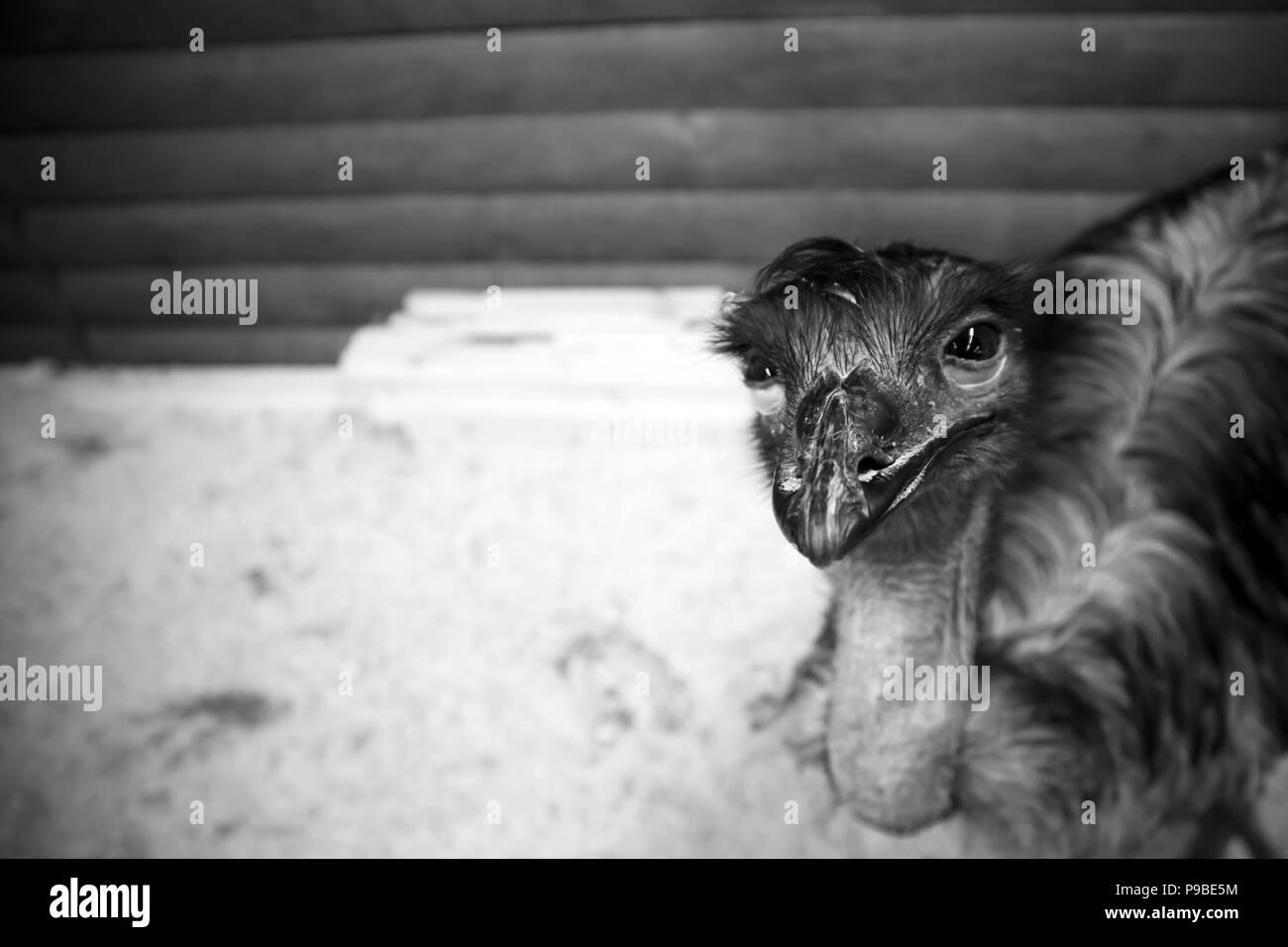 Emu australiens Funny cute dans une cage en bois au jardin zoologique Photo Stock