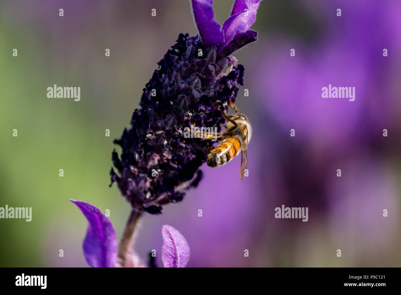 Une abeille en herbe visites rosemary fleurs dans un parc à Yokohama Photo Stock