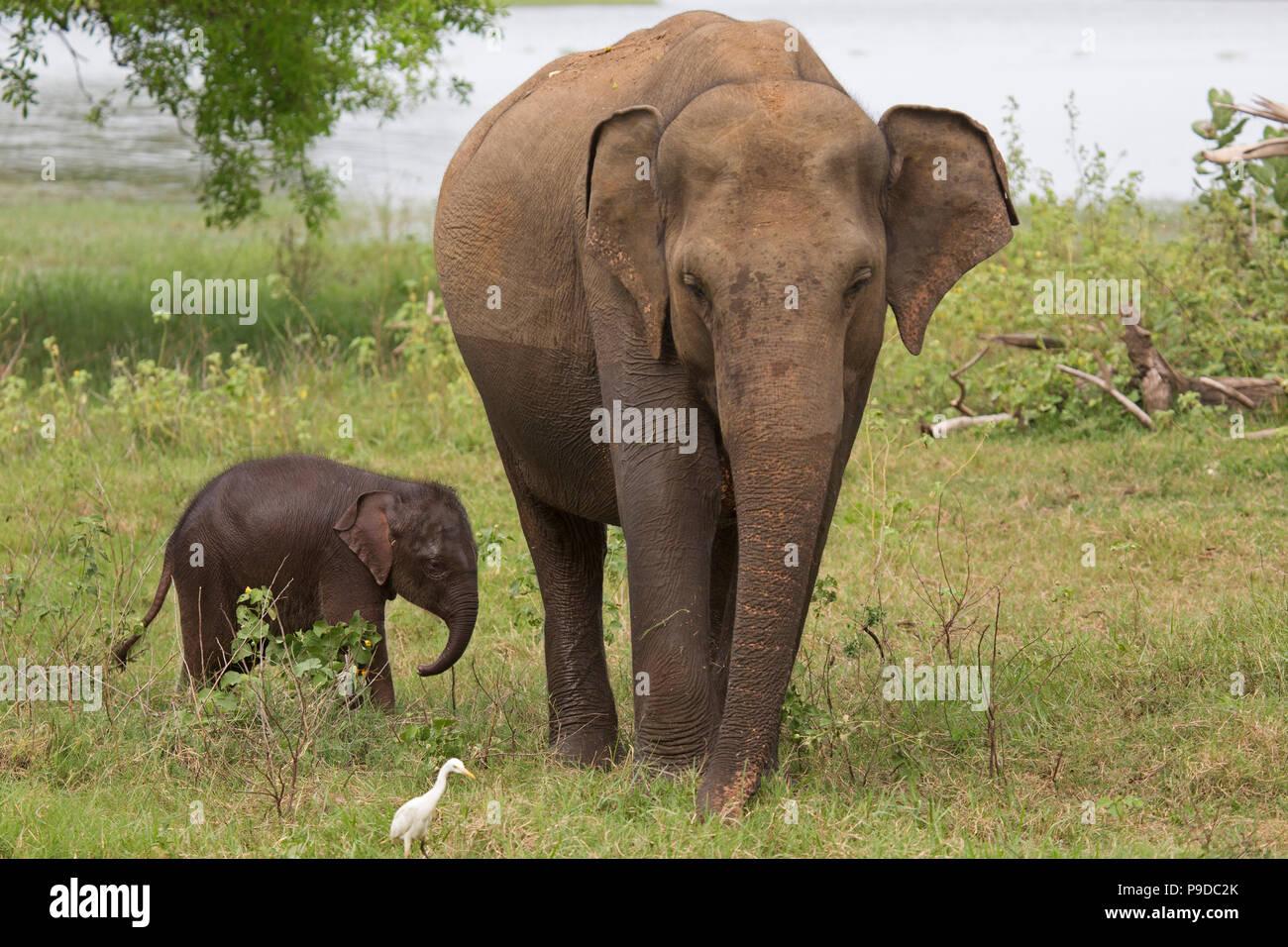 Bébé éléphant avec sa mère dans le Parc National Minneriya au Sri Lanka. Éléphant (Elephas maximus) sont réputés pour se rassembler autour du réservoir Banque D'Images