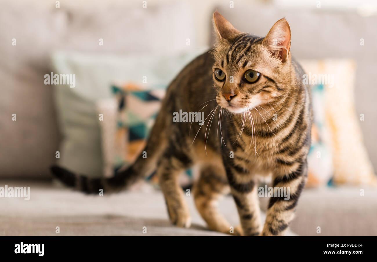 Chat domestique à la maison Photo Stock