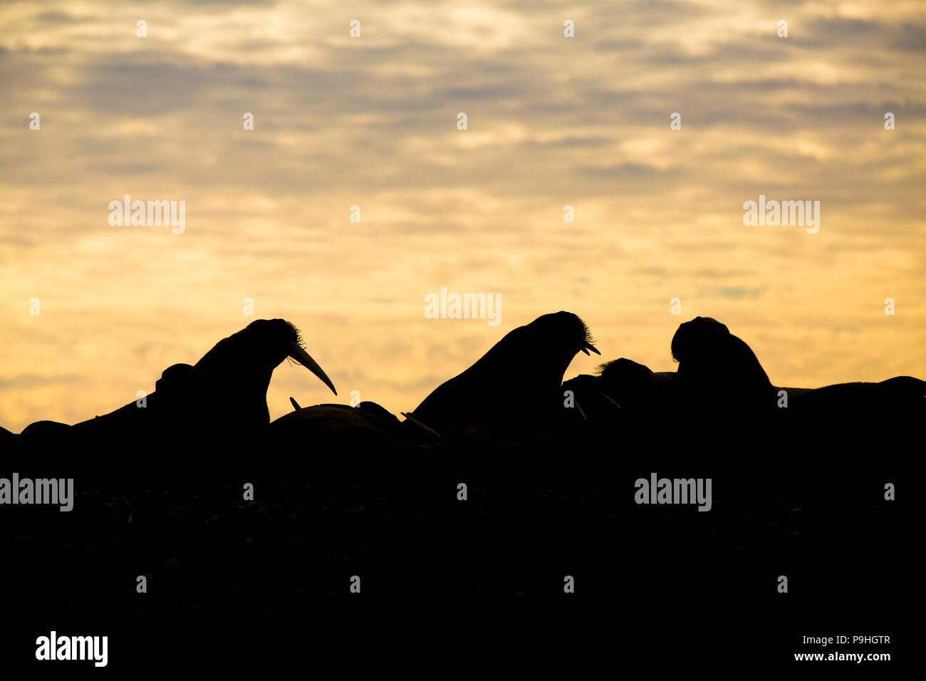 Un troupeau de morses contre la lumière déclinante sur Lågøya, Svalbard. Photo Stock
