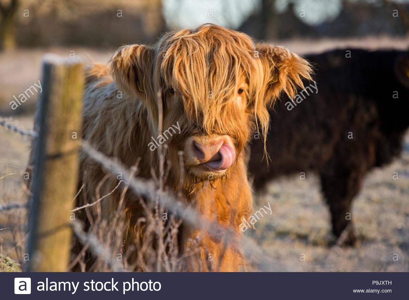Vache Highland Photo Stock