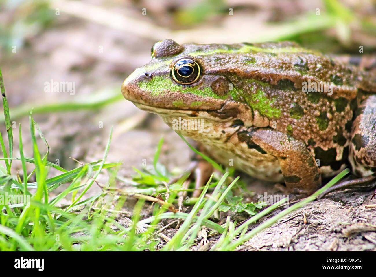 La grenouille des marais (Pelophylax ridibundus appartient à la famille des grenouilles véritables) dans la boue Photo Stock