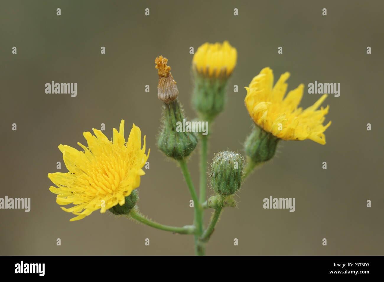 une plante Martin 1er avril trouvée par Jov' Sonchus-arvensis-laiteron-des-champs-p9t6d3