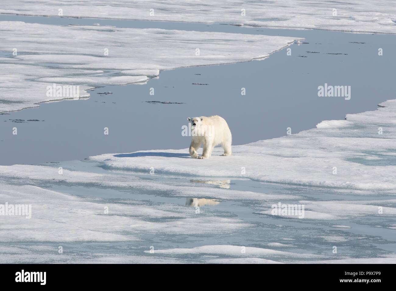 L'ours polaire sur la marche de l'océan Arctique gelé près de Svalbard Banque D'Images