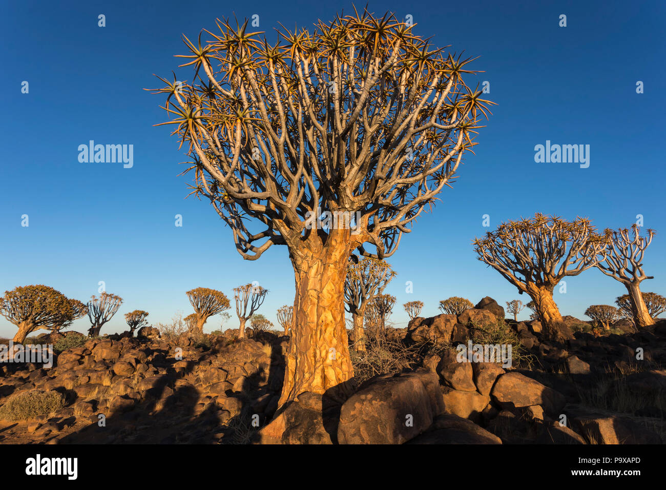 Arbres carquois (kokerboom) (Aloidendron dichotomum, anciennement l'Aloe dichotoma), forêt Quiver Tree, Keetmanshoop, Namibie, Photo Stock