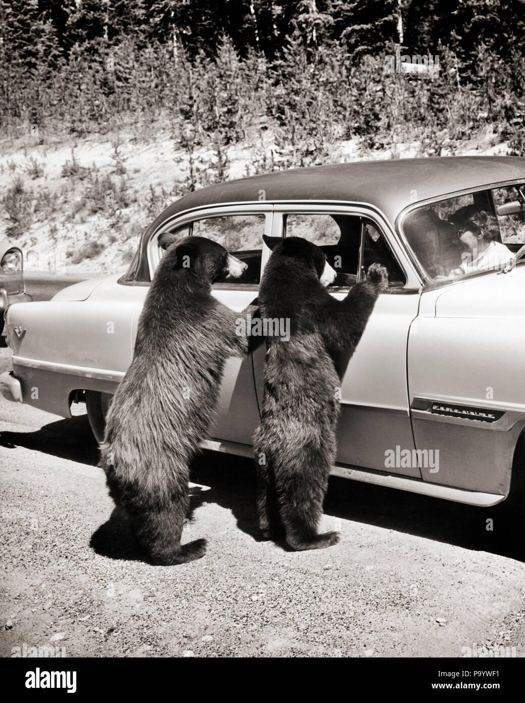 Années 1950 deux ours noirs (Ursus americanus DEBOUT À LA VOITURE DE WINDOWS dans le parc national de Yellowstone au Wyoming USA - r342 KRU001 HARS OURS PARC NATIONAL DE VÉHICULES AUTOMOBILES URSUS AMERICANUS WY VUE ARRIÈRE DE LA FAUNE MAMMIFÈRE VIVRE ENSEMBLE À L'ANCIENNE NOIR ET BLANC Photo Stock
