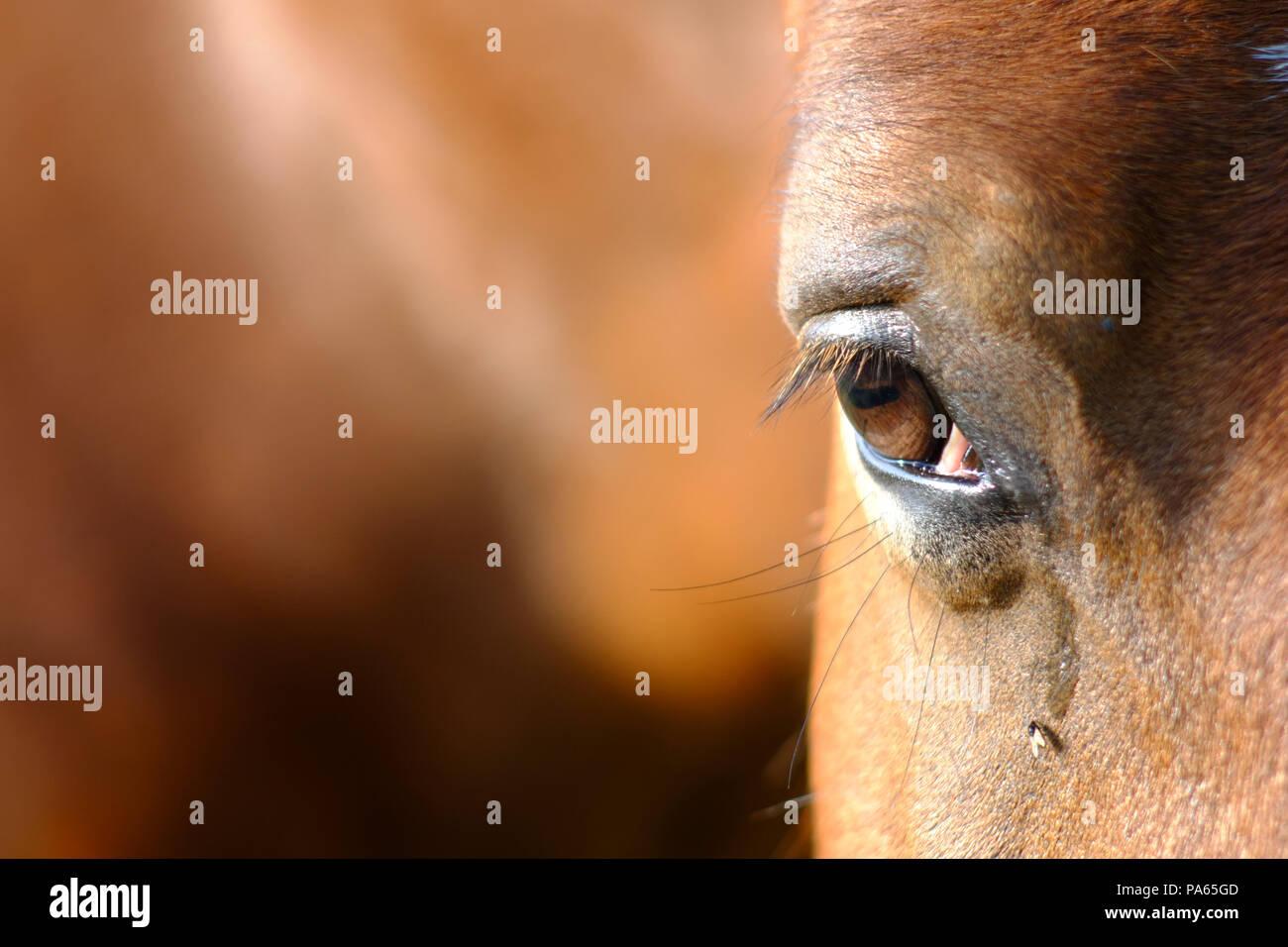Fly de boire les larmes d'un cheval Photo Stock