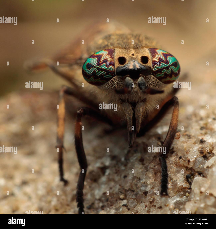 Horse fly yeux composés Banque D'Images