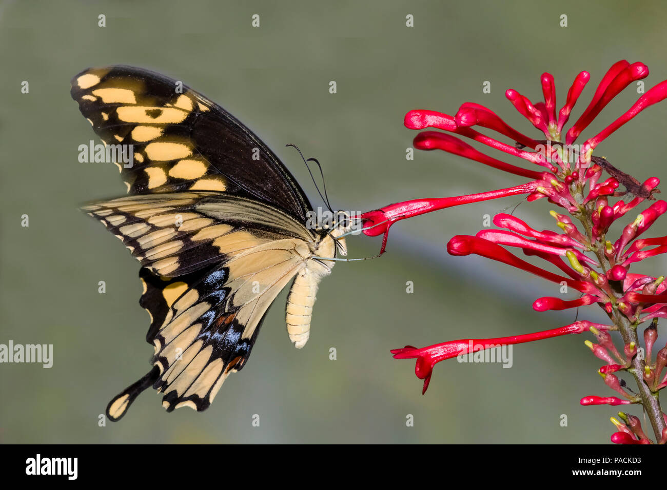 Gros plan du Swallowtai géant ( crespbontes ) Papilio papillon sur fleur rouge Photo Stock
