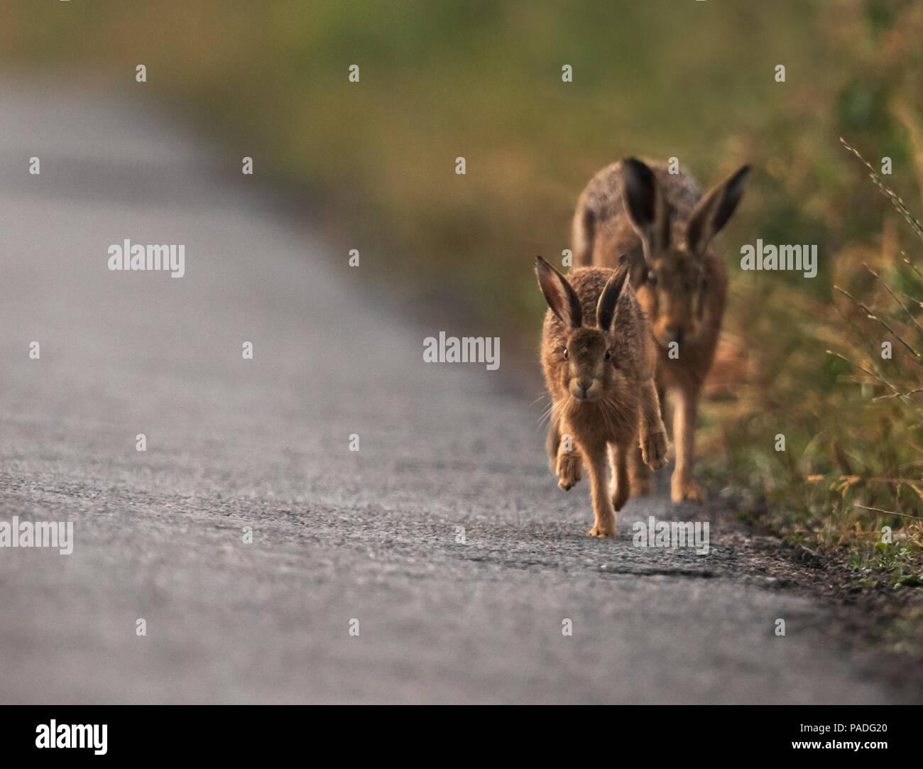 Il donne un leveret brown la mère de lièvre (Lepus europaeus) le runaround sur une route de campagne déserte, Gloucestershire Photo Stock