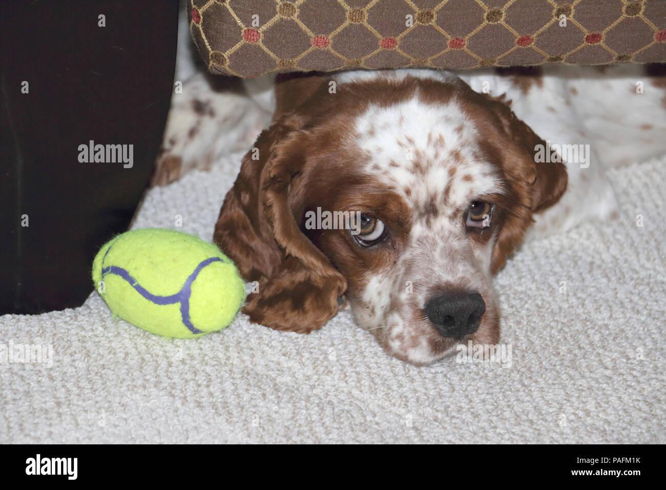 'Oscar', se cachant sous une chaise avec son jouet favori. Un chien de sauvetage qui a été effrayé au début, mais est depuis devenu très affectueux et ouvert. Photo Stock