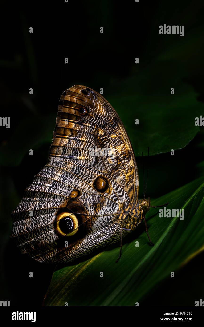 Hibou géant - papillon Caligo memnon, grand beau papillon d'Amérique centrale les forêts. Photo Stock