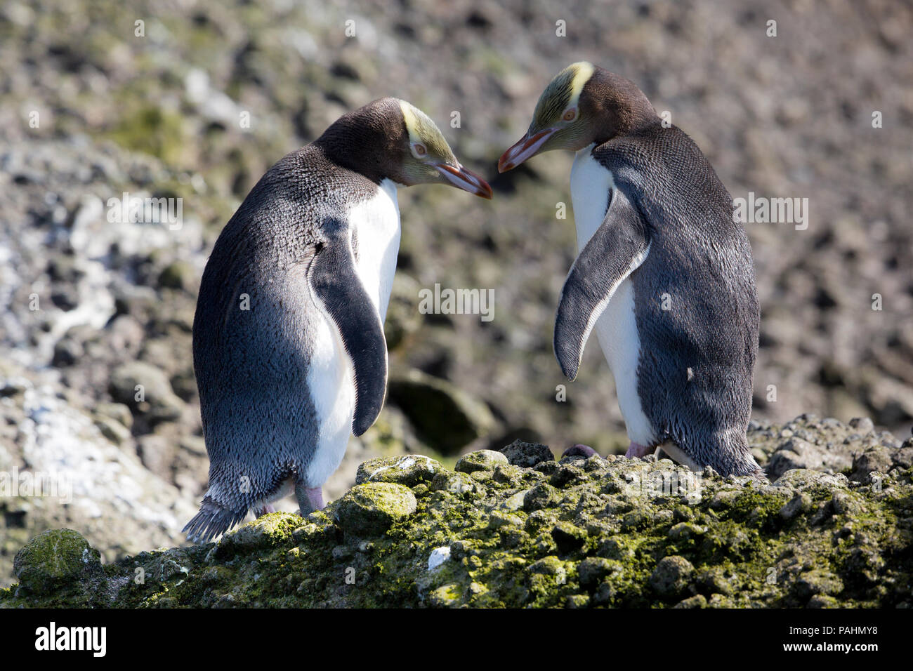 Yellow-eyed Penguin, Enderby Island, New Zealand Photo Stock