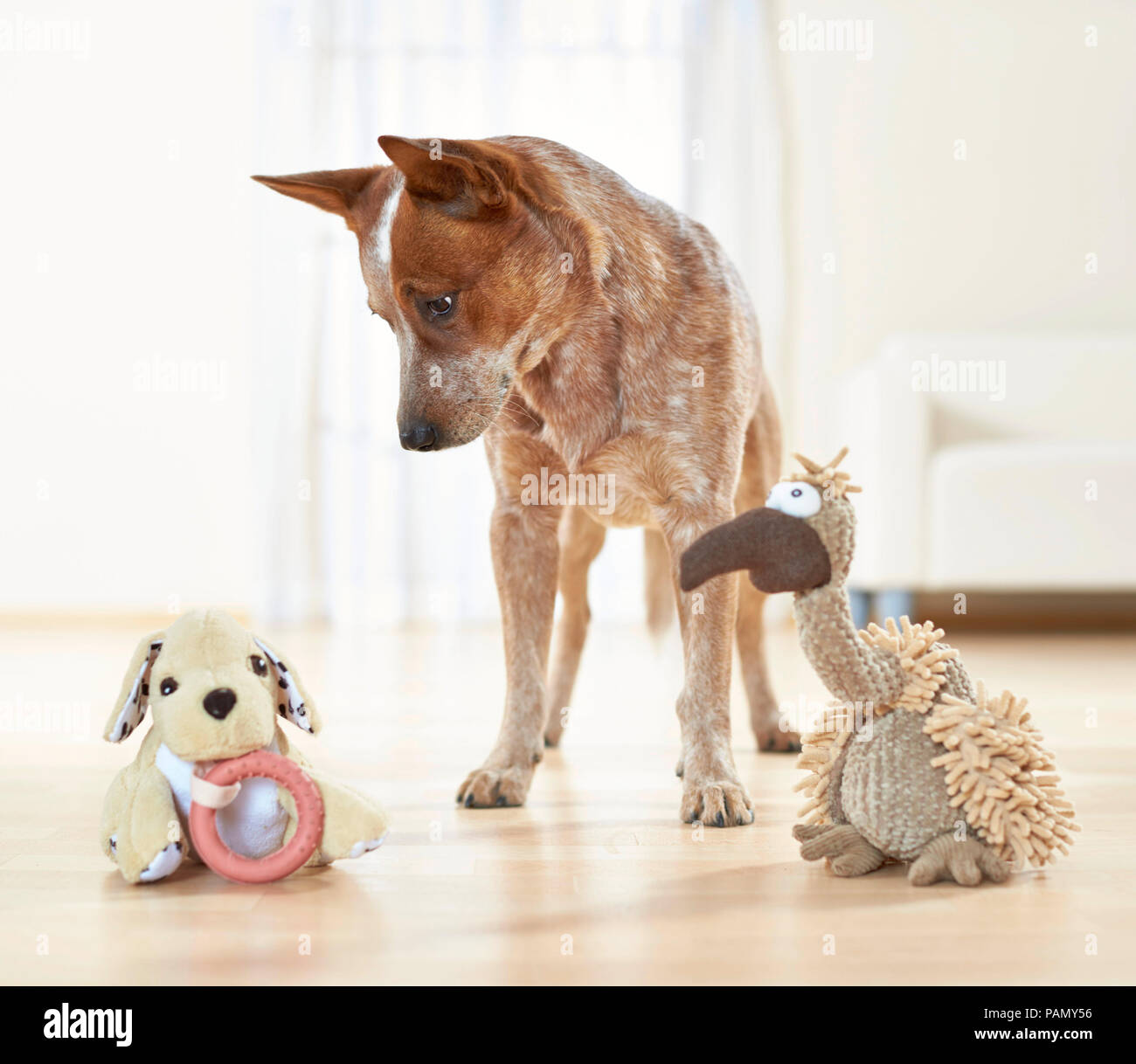 Australian Cattle Dog. Des profils soupçonneusement examine deux peluches. L'Allemagne.. Photo Stock