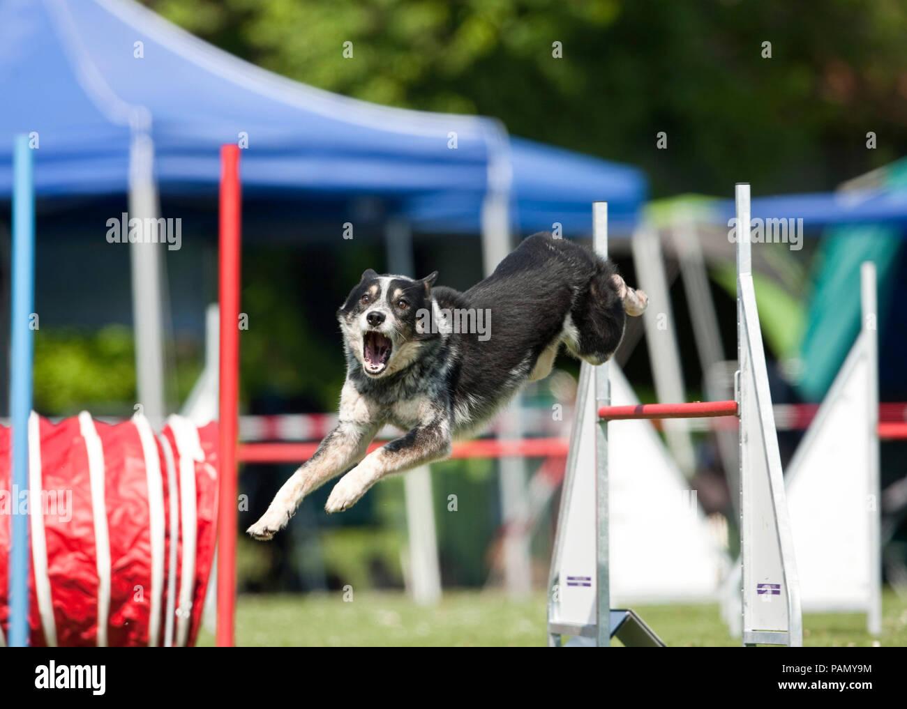 Australian Cattle Dog saute par-dessus un obstacle dans un cours d'agilité. L'Allemagne. Photo Stock