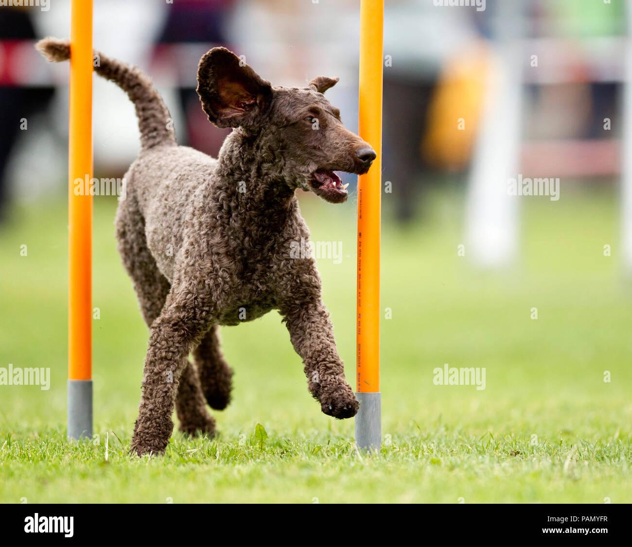 Caniche Royal. Démonstration de tissage rapide adultes polonais dans une course d'obstacles Photo Stock