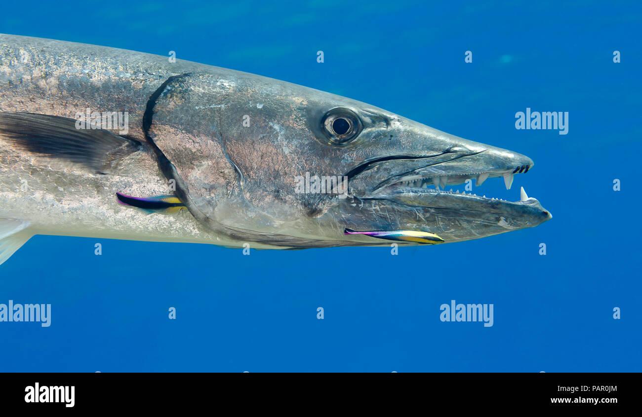 Grand barracuda, barracuda Sphyraena, peut atteindre jusqu'à six pieds de longueur. Cette personne est en cours de nettoyage par Hawaiian endémique, la plus propre wrasse Banque D'Images