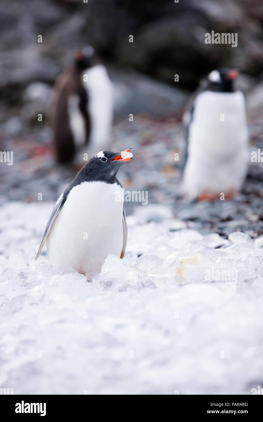 L'antarctique, péninsule antarctique, Gentoo pingouin, Pygoscelis papua Banque D'Images