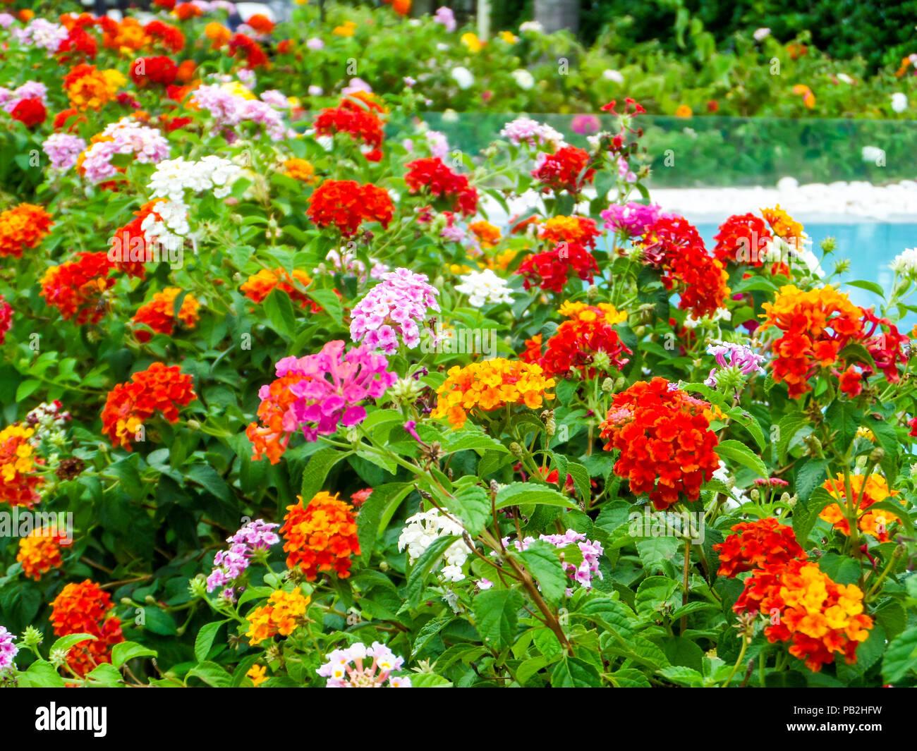Lantana ton coloré fleurs beauté entre jardin et piscine ...