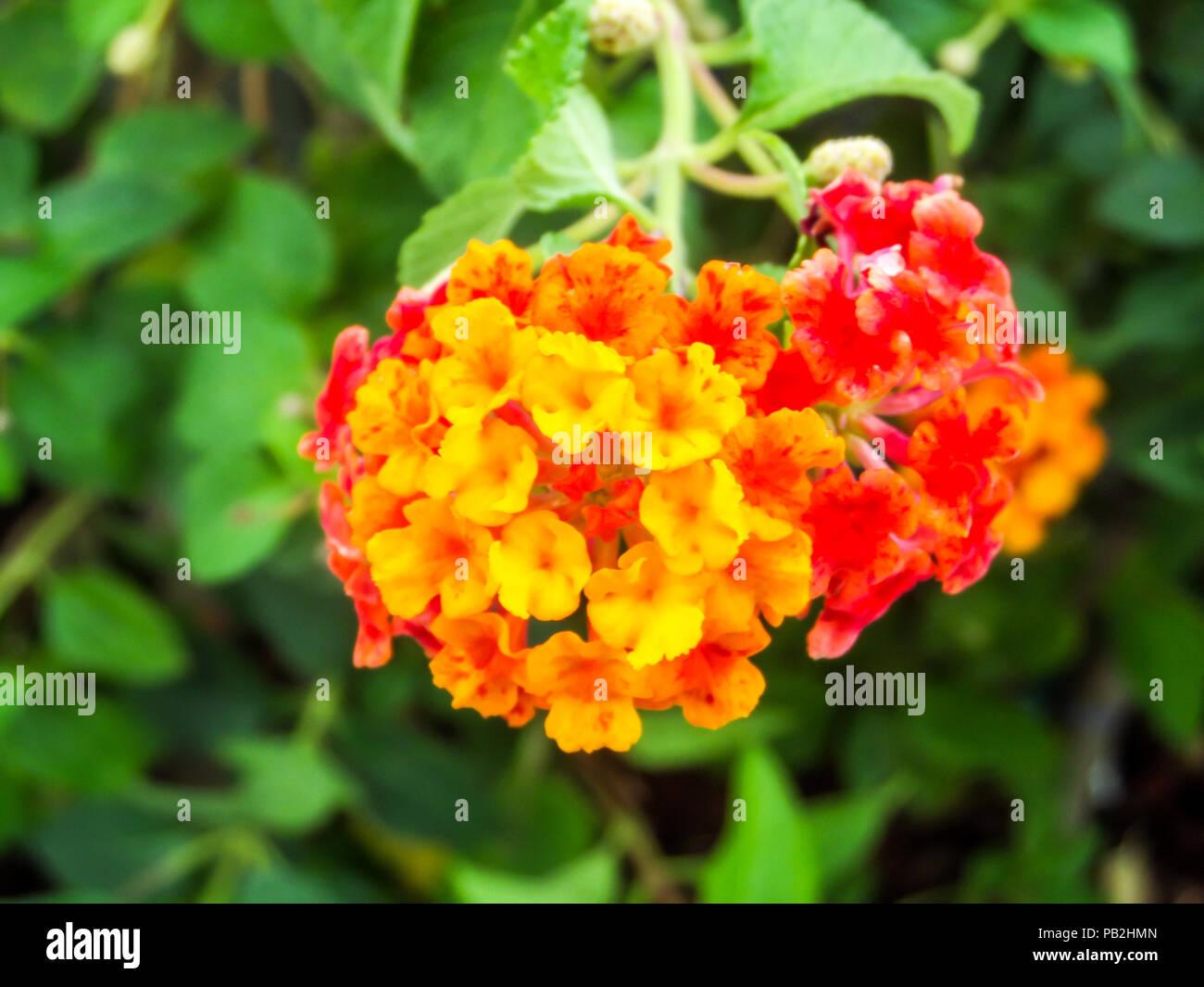 Lantana rouge jaune fleur beauté ton colorés dans jardin ...