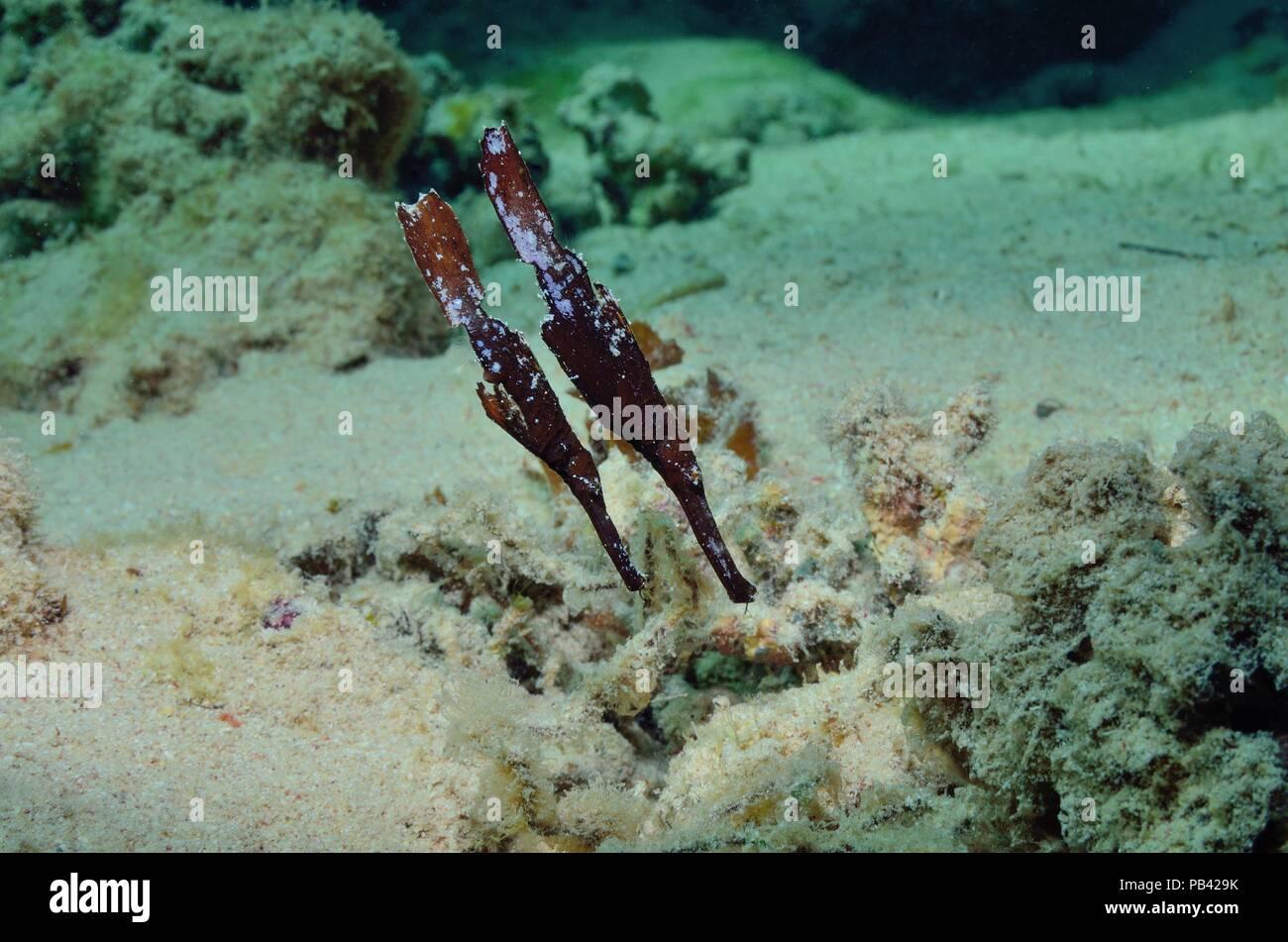 Seegras-Geisterpfeifenfisch, syngnathe fantôme robuste (Solenostomus cyanopterus) Photo Stock