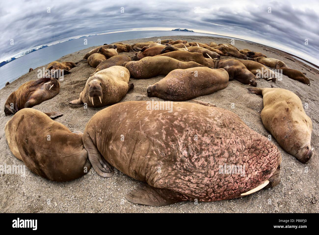 Les morses de l'Atlantique (Odobenus rosmarus rosmarus) grand angle de visualisation de grande colonie tiré au sec sur une plage pour se reposer, Svalbard, Norvège, juin Photo Stock