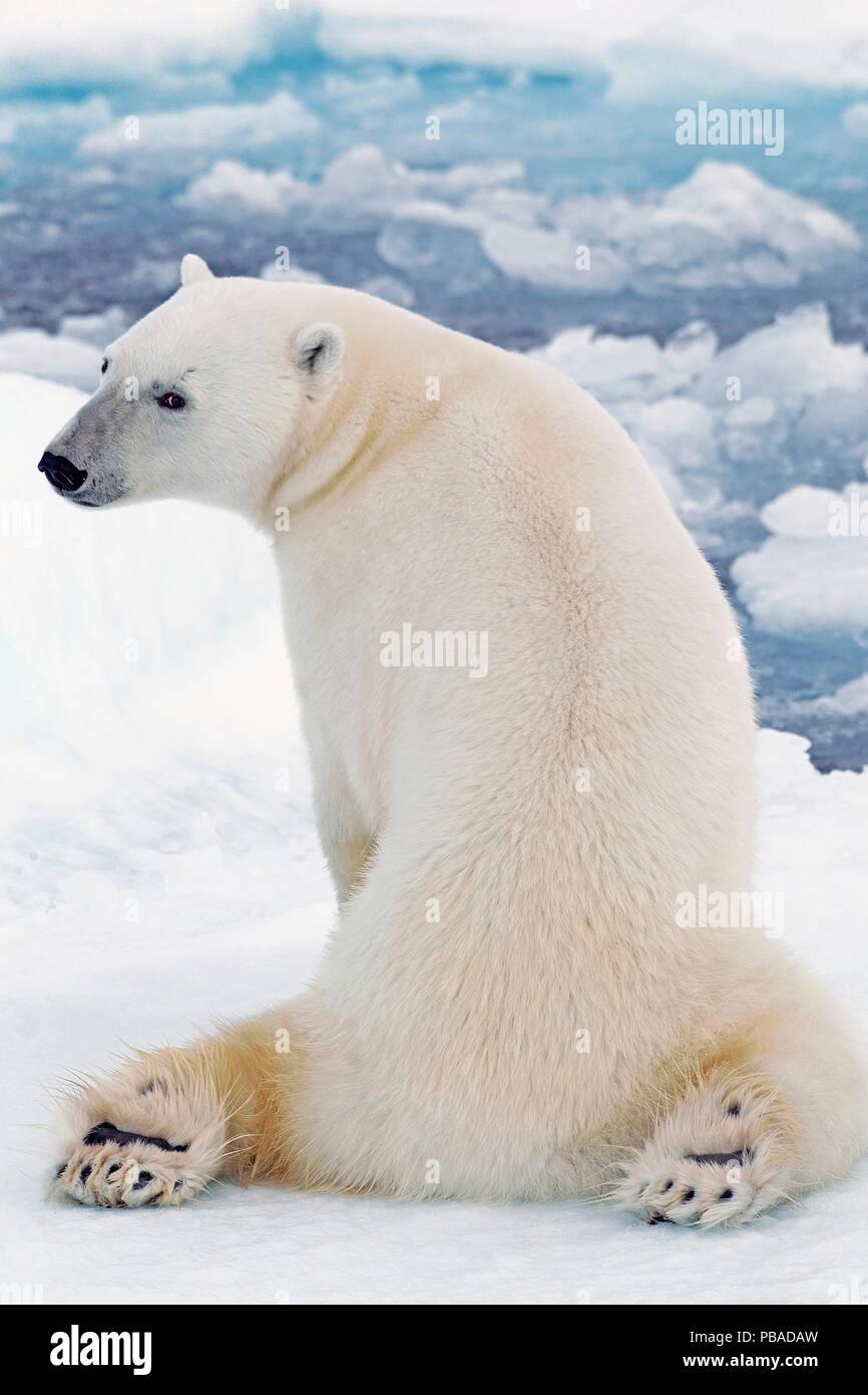 https www alamyimages fr l ours polaire ursus maritimus sur le ventre et les pattes avec les jambes allongees derriere le banc de glace svalbard norvege septembre image213515649 html