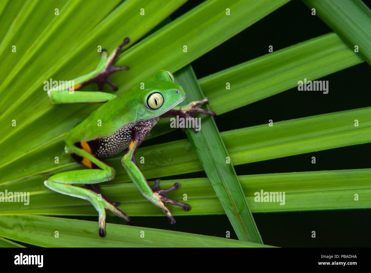 Agua Rica leaf frog (Phyllomedusa ecuatoriana) captive, endémique à l'Agua Rica, l'Équateur. Les espèces en voie de disparition. Photo Stock