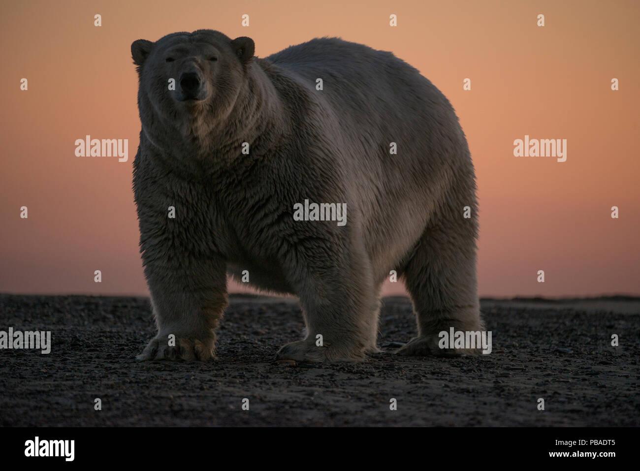 L'ours polaire (Ursus maritimus) portrait contre le ciel au coucher du soleil, Bernard Spit, au large de la zone 1002, l'Arctic National Wildlife Refuge, versant nord, Alaska, USA, septembre. Les espèces vulnérables. Photo Stock